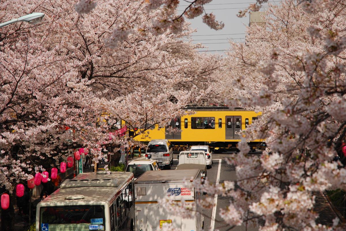 中野通り桜並木-歩道橋の上から