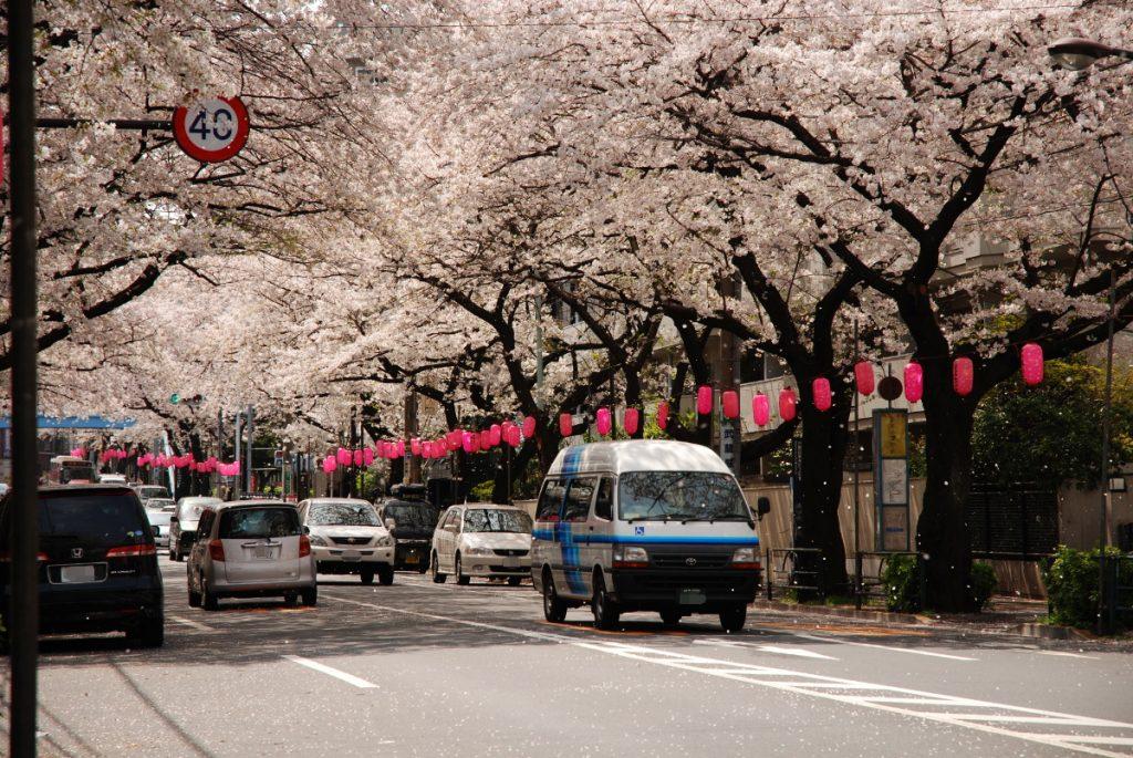 中野通り桜のトンネル