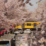 中野通り桜並木の360度写真集。都内有数の花見スポットをバーチャル体験!