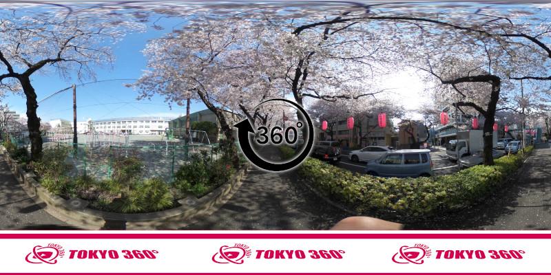中野通りの桜並木-360度写真-03