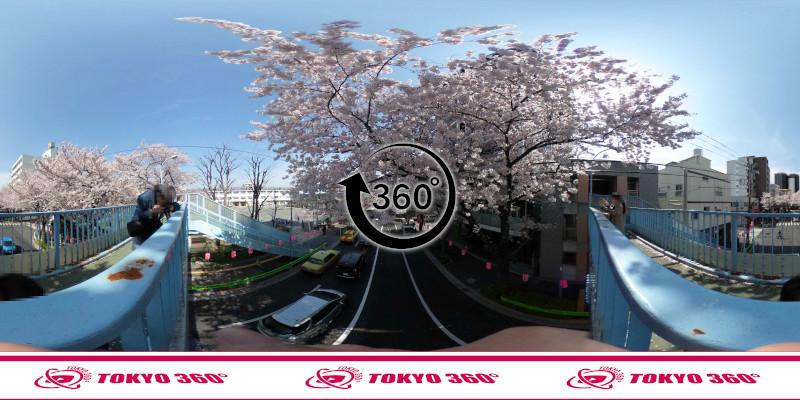 中野通りの桜並木-360度写真-05
