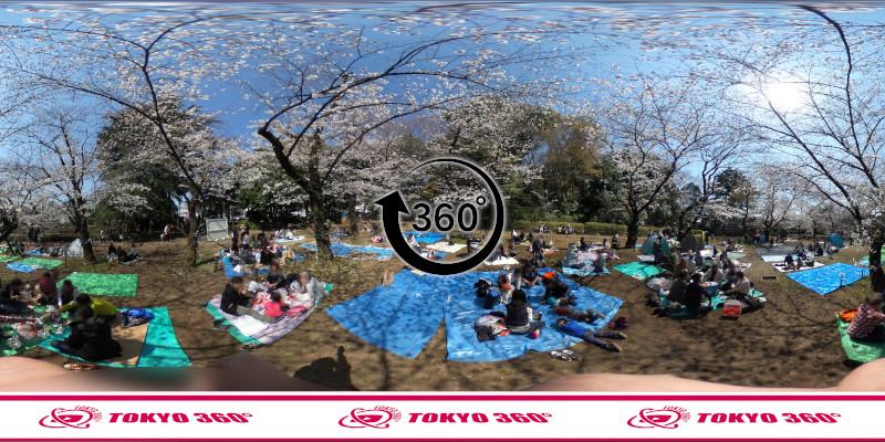 中野通りの桜並木-360度写真-09