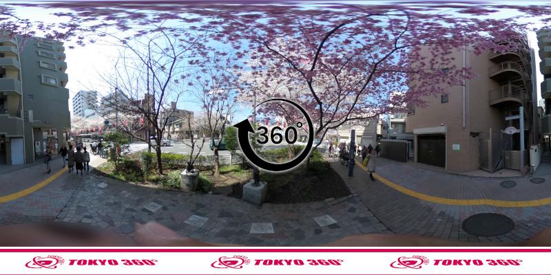 中野通りの桜並木-360度写真-15