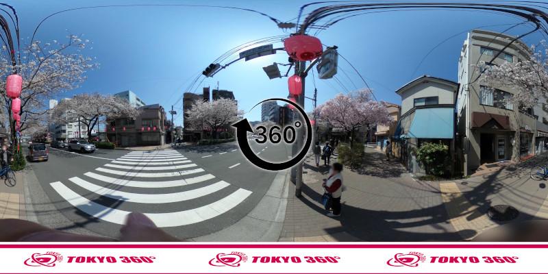 中野通りの桜並木-360度写真-16