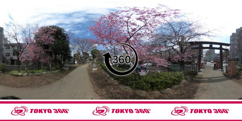 中野通りの桜並木-360度写真-21