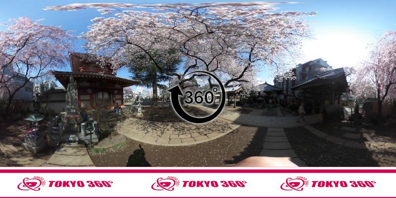 中野通りの桜並木-360度写真-22