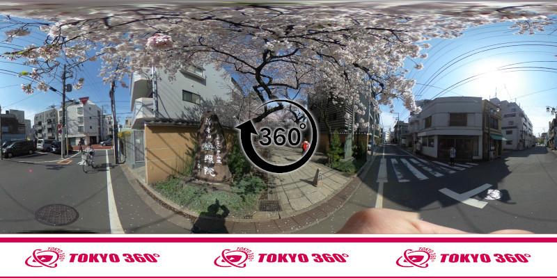 中野通りの桜並木-360度写真-23