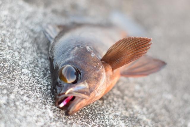 釣り上げられたメバル