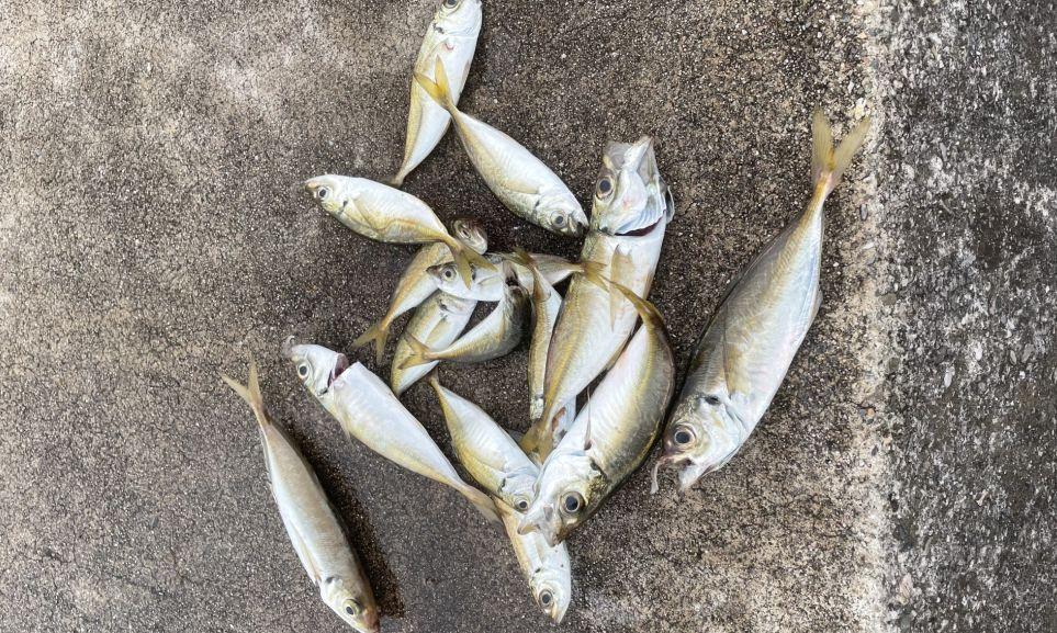 釣り上げられた大漁のアジ